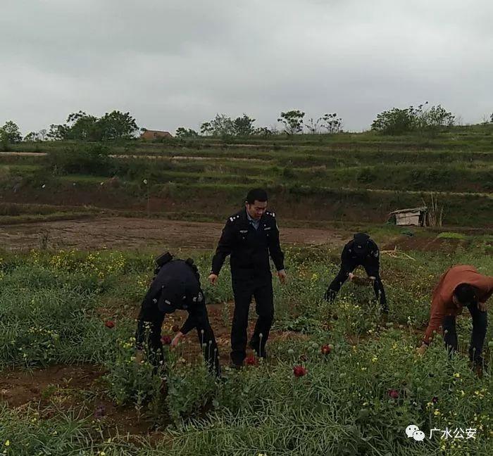 种一株也违法!随州警方大力打击种植罂粟